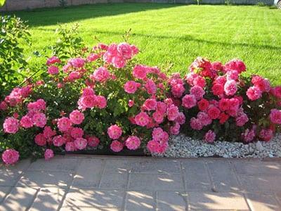 Использование роз в озеленение дачного и приусадебного участков
