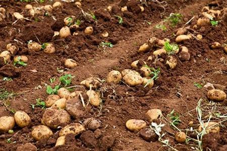 Аспекты развития потенциала маркетинга в картофелеводстве