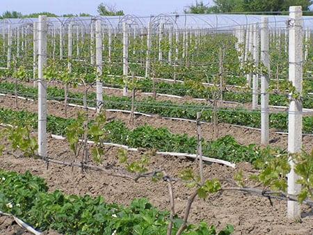 Борьба с сорняками при выращивании клубники