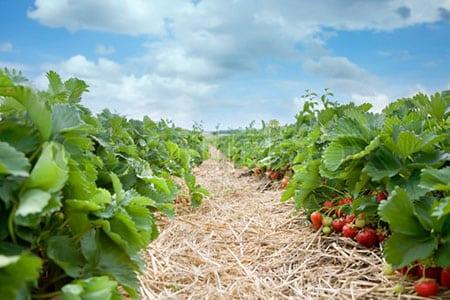 Как правильно высаживать клубнику