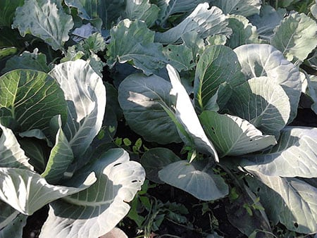 Садим капусту
