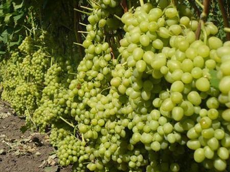 Выращиваем столовые сорта винограда