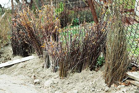 Семенное размножение кустарников