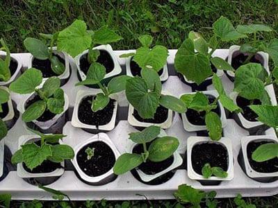 Как вырастить рассаду правильно