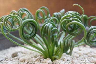 Альбука спиральная уход и размножение