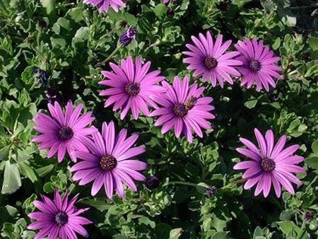 Выращиваем и ухаживаем за остеоспермумом