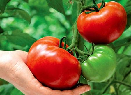 Как правильно ухаживать за томатами, лучшие сорта