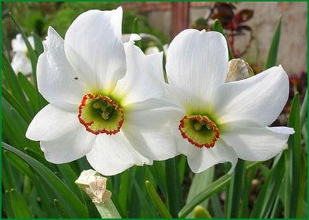 Нарциссы - сорта, выращивание, посадка