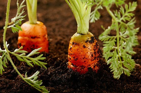 Полезная морковь