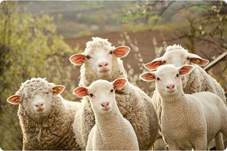 Диагностика и профилактика дикроцелиоза овец
