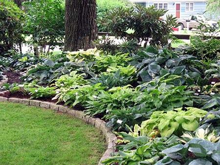 Хосты в саду для ландшафтного дизайна