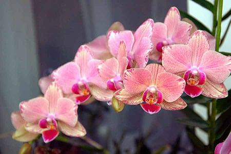 pravilnaya-pokupka-orhidei-02