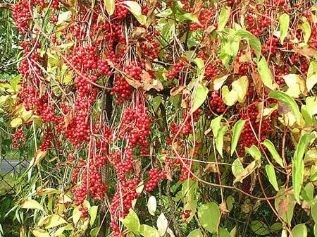 razmnozhenie-lian-v-sadu-semenami