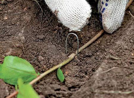 Размножение кустарников при помощи отводок