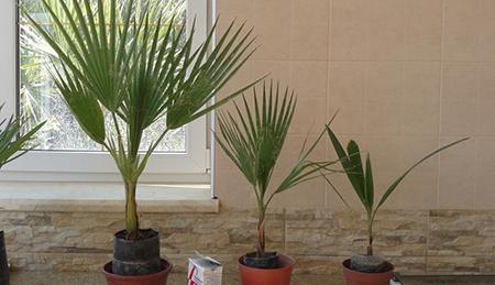 Выращивание пальмы из семян