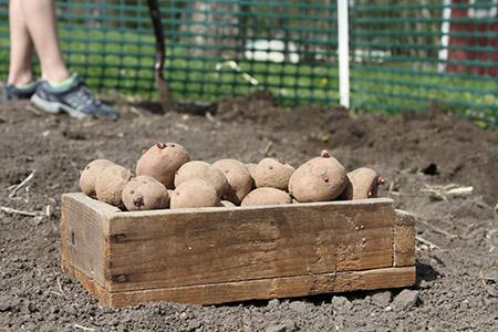 Подготовка и посадка семенного картофеля