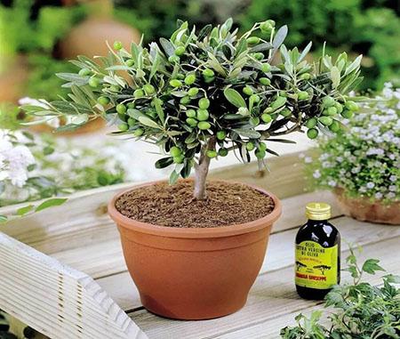 Комнатная культура оливкового дерева