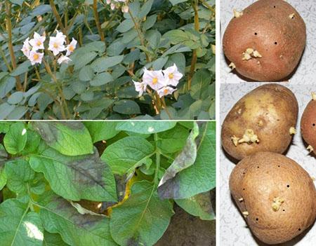 Разговоры о картофеле